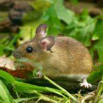 Mysz leśna (Apodemus flavicollis)