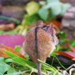 Mysz polna (Apodemus agrarius)