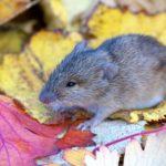 Chyba Mysz polna (Apodemus agrarius)