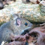 Chyba Mysz zaroślowa (Aapodemus sylvaticus)