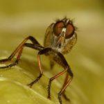 Prawdopodobnie Łowik szerszeniak (Asilus crabroniformis)