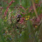 Makolągwa (Carduelis cannabina)