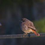Kopciuszek (Phoenicurus ochruros)