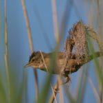 Trzciniak (Acrocephalus arundinaceus)