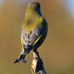 Dzwoniec (Carduelis chloris)