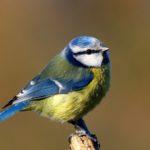 Modraszka (Parus caeruleus)