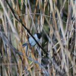 Sikora uboga (Parus palustris)