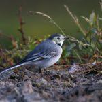 Pliszka siwa (Motacilla alba)