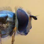 Bzygowate (Syrphidae)