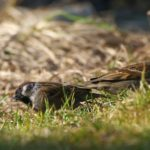 Mazurek (Passer montanus)