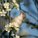 Cierniówka (Sylvia communis)
