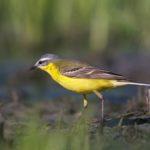 Pliszka żółta (Motacilla flava)