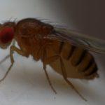 Wywilżnia karłówka (Drosophila melanogaster)