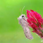 Piętnówka chwastówka (Discestra trifolli)