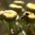 Mrówka Rudnica (Formica rufa) na Wrotyczu pospolitym (Tanacetum vulgare L.)