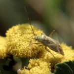 Tasznikowate (Miridae syn. Capsidae)