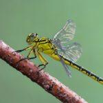 Gadziogłówka żółtonoga (Gomphus flavipes)