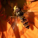 Bzyg prążkowany (Episyrphus balteatus)
