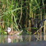 Mewa śmieszka (Chroicocephalus ridibundus) i Krzyżówka (Anas platyrhynchos)