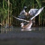 Mewa śmieszka (Chroicocephalus ridibundus)