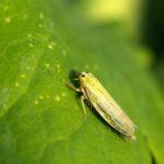 Skoczkowate (Cicadellidae)