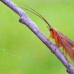 Chruścik (Trichoptera Sp.)