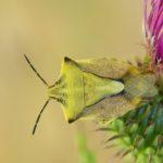 Borczyniec owocowy (Carpocoris fuscispinus)