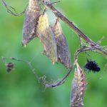 Poczwarka Rusałki pawika (Inachis io)