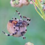 Krzyżak łąkowy (Araneus quadratus)