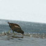 Kokoszka zwyczajna (Gallinula chloropus)