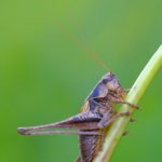 Podkrzewin szary (Pholidoptera griseoaptera)