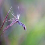 Piórolotek zwyczajny (Emmelina monodactyla)