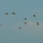 Czapla biała (Egretta alba)