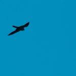 Kobuz (Falco subbuteo)