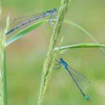 Pióronóg nadwodnik (Platycnemis pennipes) oraz Łątka nietoperzówka (Coenagrion pulchellum)