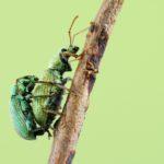 Chyba Naliściak Phyllobius Maculicornis