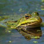 Żaba wodna (Pelophylax esculentus)
