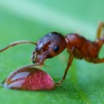 Wścieklica zwyczajna (Myrmica rubra)