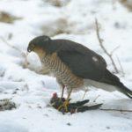 Krogulec zwyczajny (Accipiter nisus)