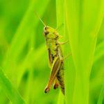 Prawdopodobnie Skoczek zielony (Omocestus viridulus)
