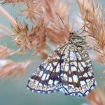 Witalnik naostrzak (Chiasmia clathrata)