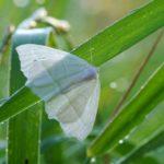 Ostrolot muszlowiak (Campaea margaritata)