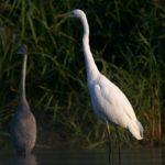 Czapla siwa (Ardea cinerea) i Czapla biała (Egretta alba)