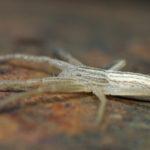 Chyba Micrommata virescens