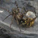 Kątnik rdzawy (Malthonica ferruginea) i Osa