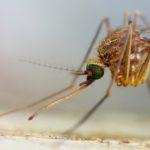 Komar pospolity (Culex pipiens)