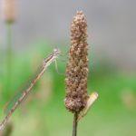 Prawdopodobnie Pałątka pospolita (Lestes sponsa)