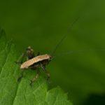 Podkrzewin szary (Pholidoptera griseoaptera) - larwa