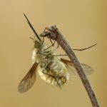 Bujanka większa (Bombylius major)
