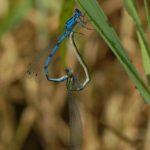 Łątka dzieweczka (Coenagrion puella)